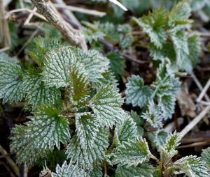 frost nettle