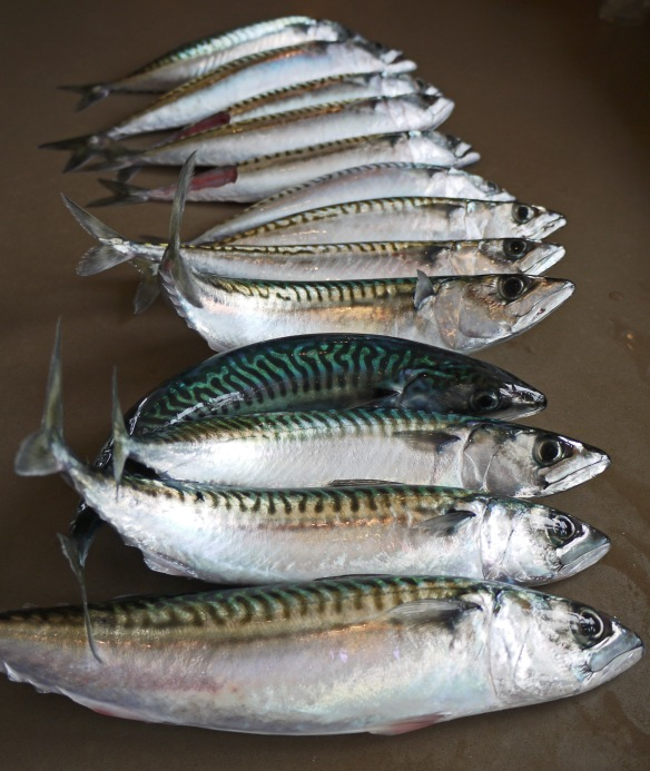 mackerel catch